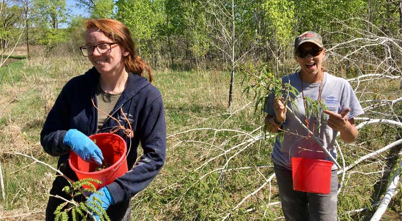 Two women collect aspen catkins with red buckets.