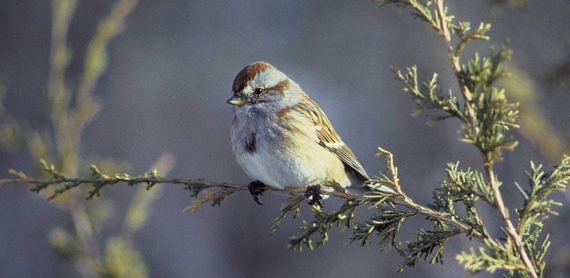 close up of american tree sparrow on a tree branch
