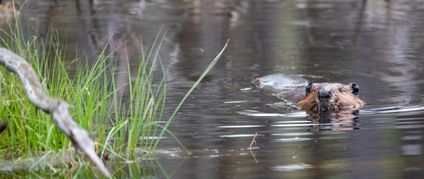 A beaver swims past long grasses with its nose raise above the water.