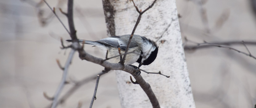 A black-capped chickadee in a birch tree.