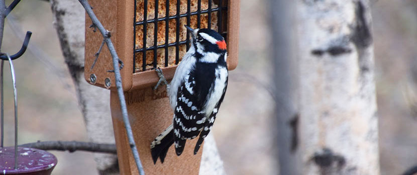 male downy woodpecker eating from a suet block