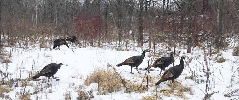 A group of turkeys walks through the snow.