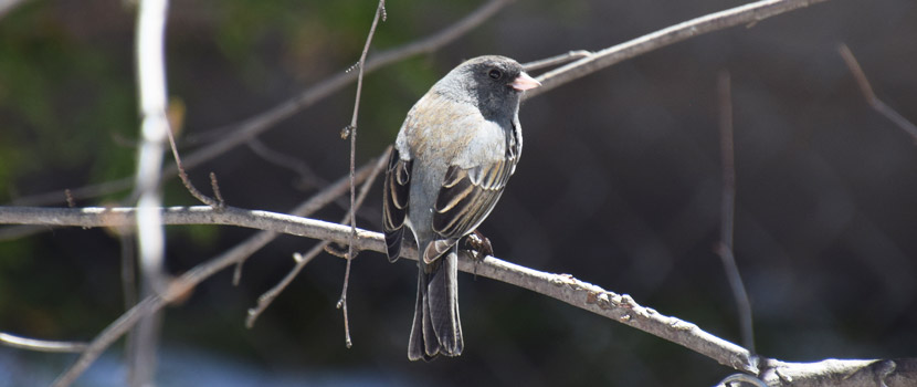 A small dark gray bird with black markings sits on a tree branch.