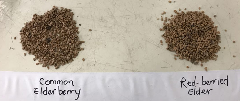 A pile of common elderberry seeds and a pile of red-berried elder seeds are labeled next to each other on a table.