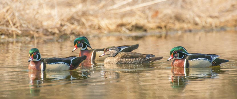 A cluster of wood ducks on a lake.