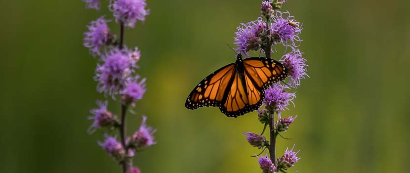 monarch butterfly on purple flowering plants
