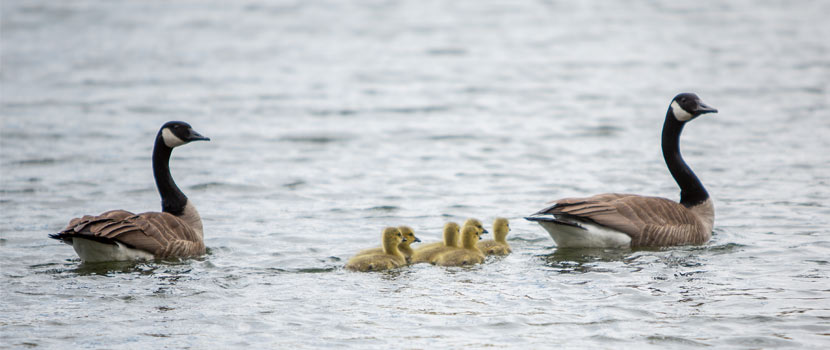 a pair of canada geese swims with their babies.