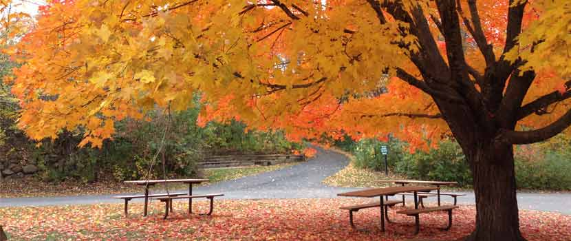 a blazing yellow and orange maple tree with two picnic tables  underneath it