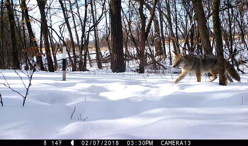 coyote running through snow in the woods
