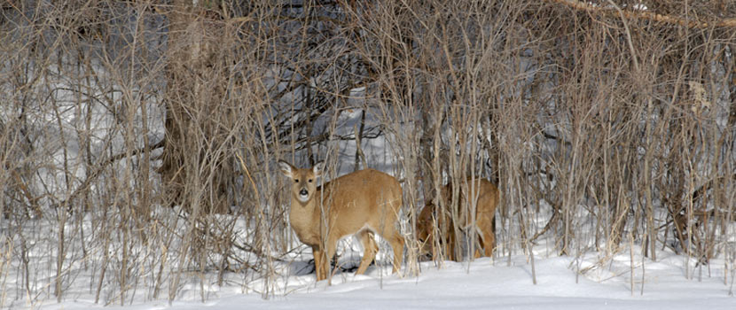 two white-tailed deer browse on the edge of a forest in the winter.