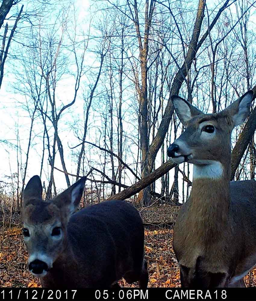 two white-tailed deer up close
