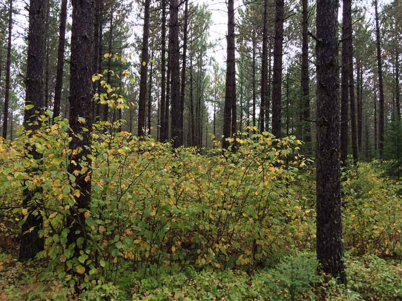 Yellowing hazelnut shrubs grown under a red pine forest.