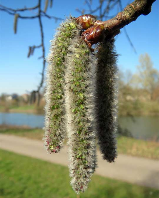 fuzzy long seed pods growing from a tree.