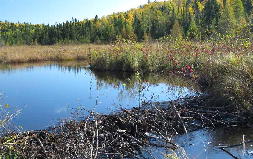 A beaver dam made of large sticks blocks water flow across a wetland area.
