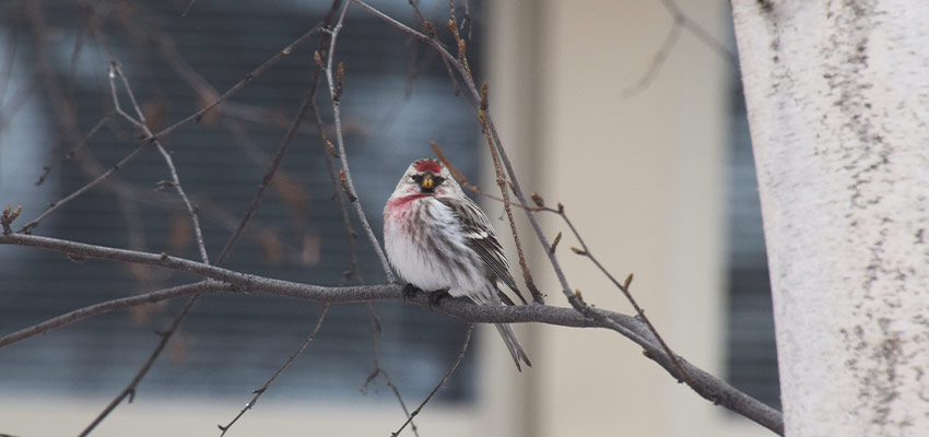 common redpoll sits on a branch