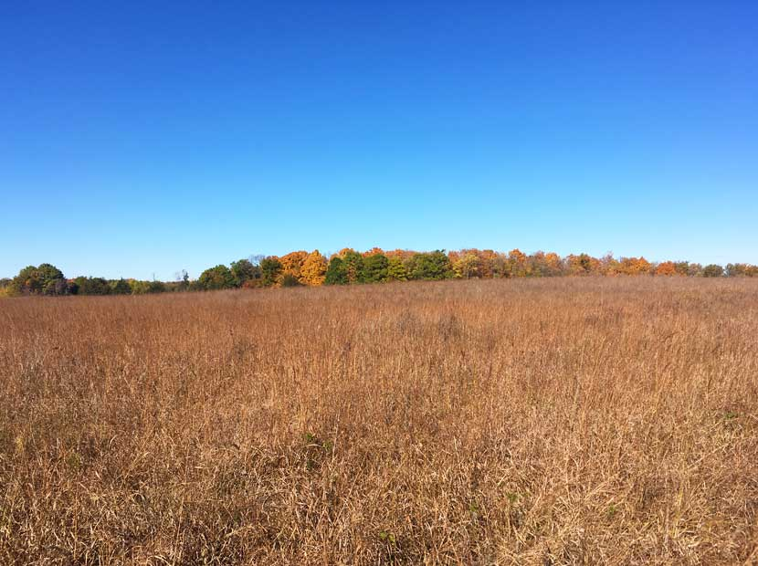 Golden prairie grasses stand tall in the fall against a wall of colorful oak trees.