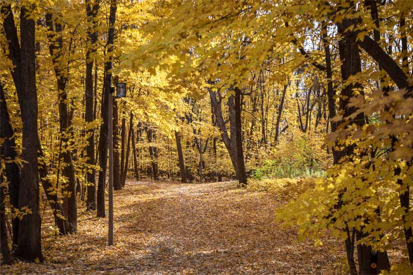 Trees along a wooded trail are yellow in fall.