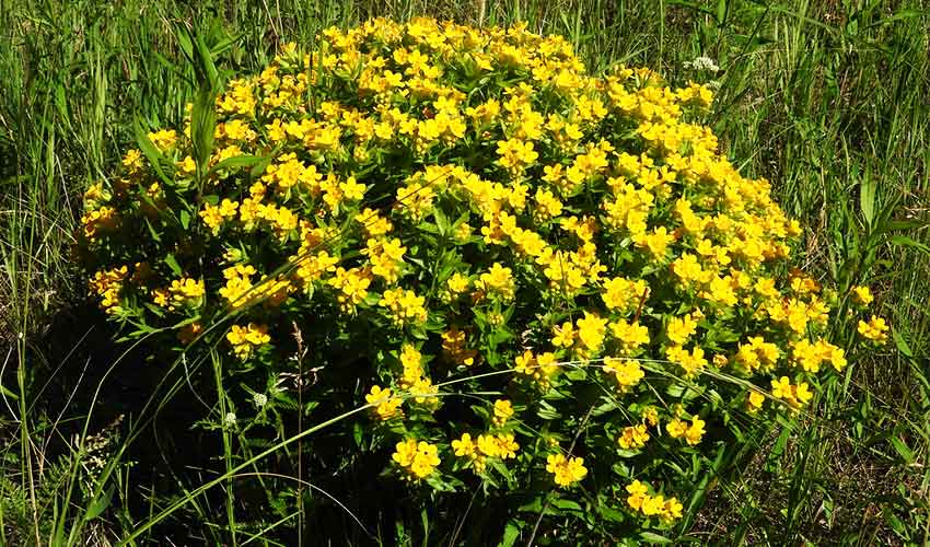 yellow flowering hoary puccoon plant