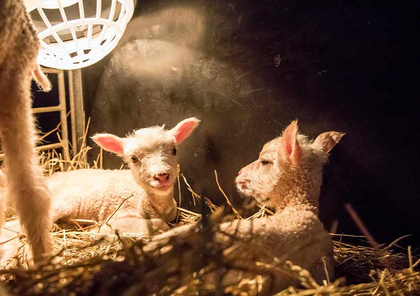lambs in the hay under a heating lamp