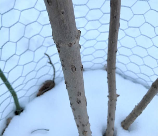 Lenticels can be easily seen on a common elderberry plant in the winter.