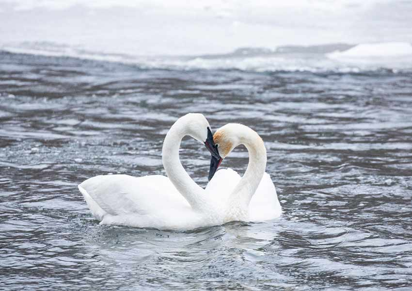two swans nuzzling each other