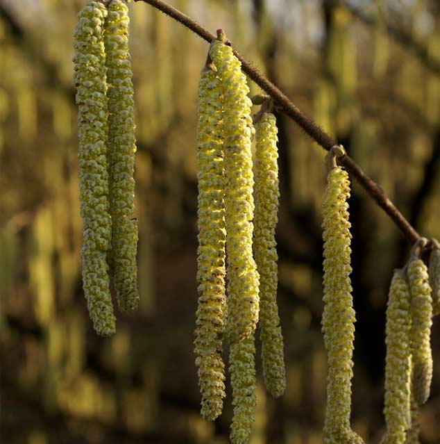 A cluster of hazelnut catkins hanging from a tree.