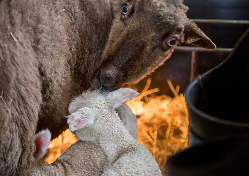 brown finnsheep licking her white lamb