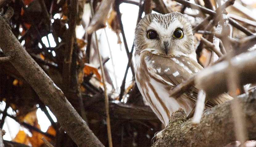 A small tan and white owl sits in a tree.
