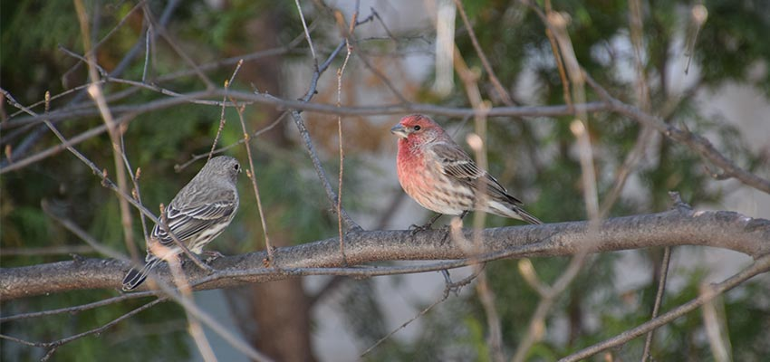 pair of house finches on a branch