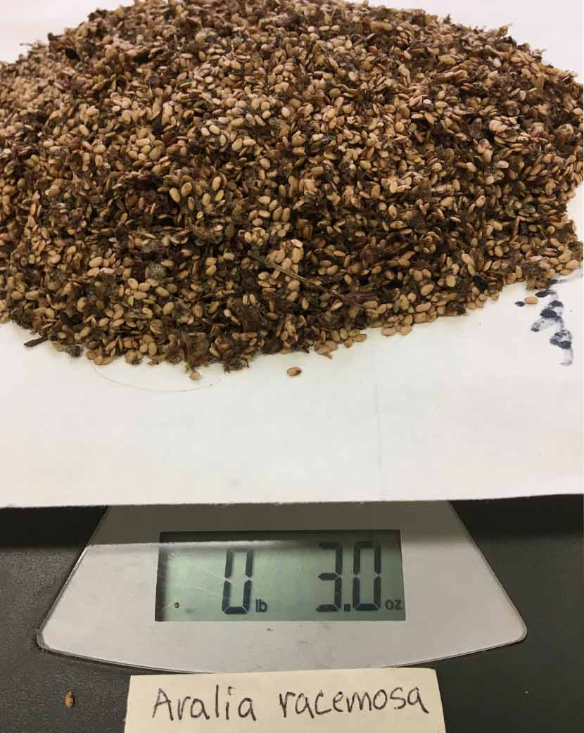 A pile of plant seeds is weighed on a scale.