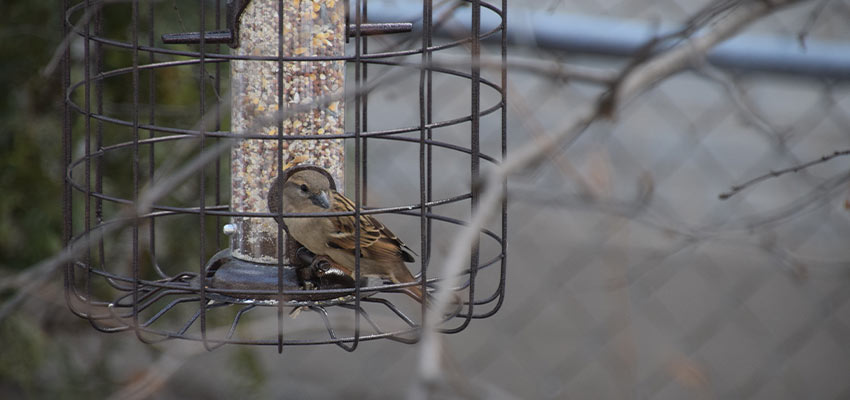 sparrow visiting a caged feeder
