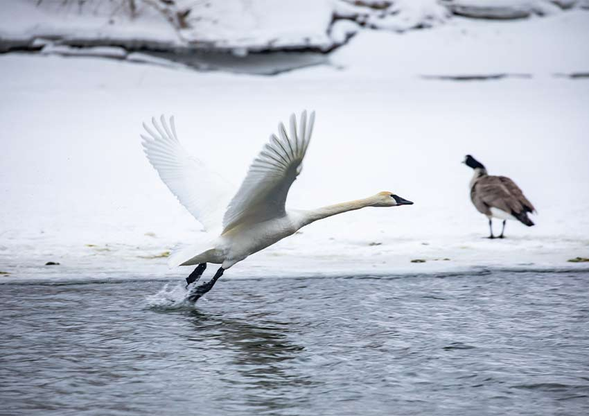 trumpeter swan taking flight