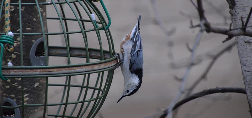 white breasted nuthatch on a feeder