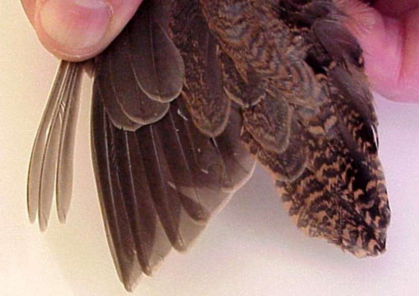 grayish brown spotted wing tips of an American woodcock bird