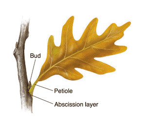 an illustration of an oak leaf attached to the branch. The abscission layer, petiole and bud are indicated.