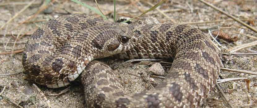 a tan and gray snake curled up on the ground.
