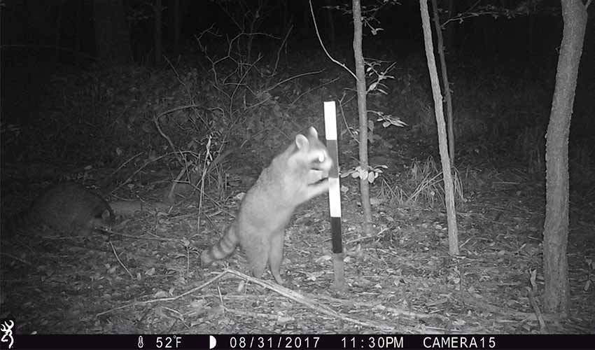 black and white photo of raccoon playing in woods