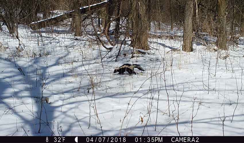 skunk running on snow in the woods