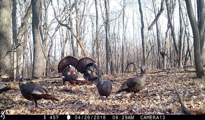 turkeys in the woods